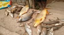 desastre de mariana_morte de peixes
